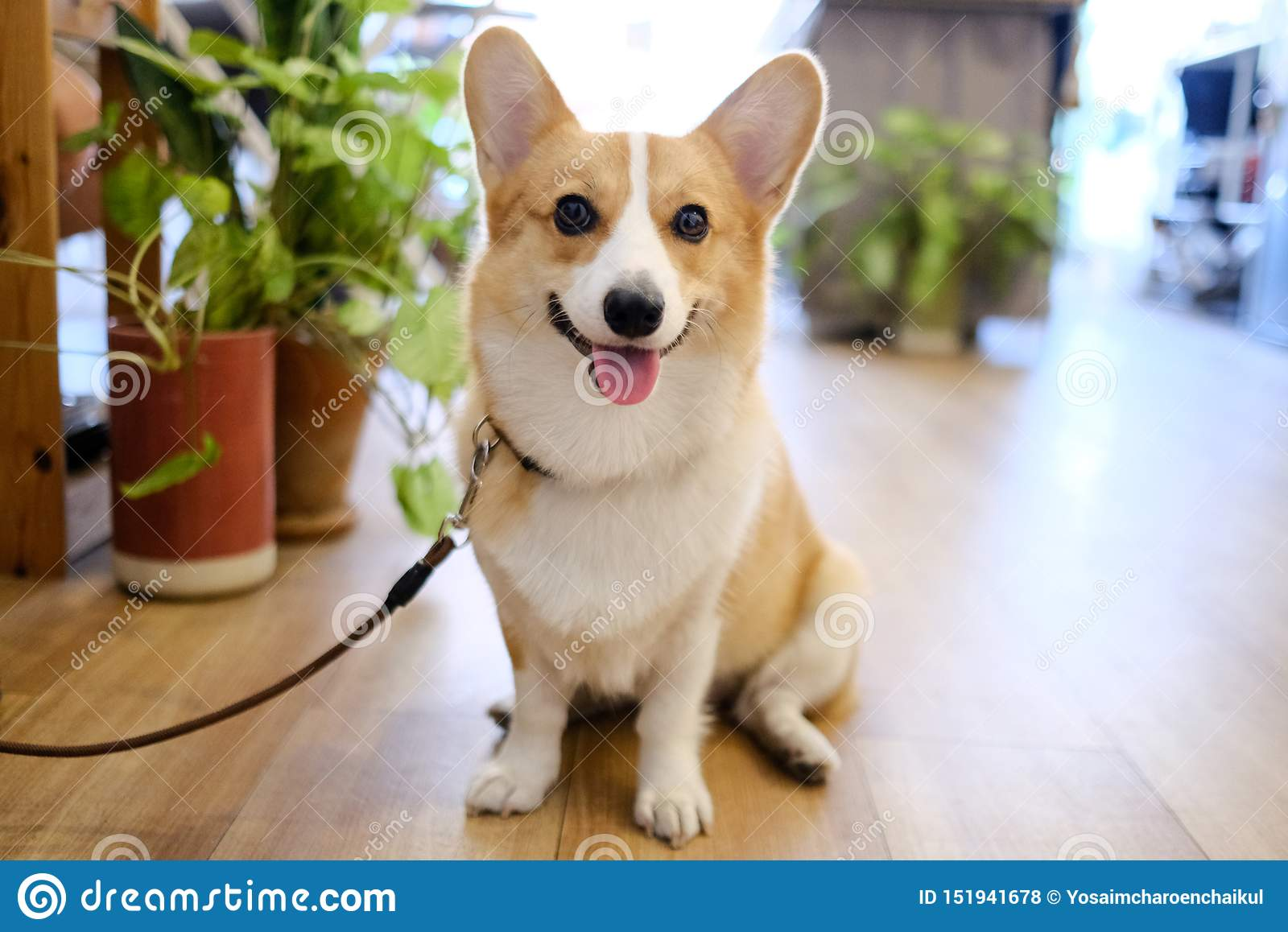 Portrait of adorable welsh corgi dog smile face sitting in coffee cafe.The puppy is sitting waiting for orders from the owner with