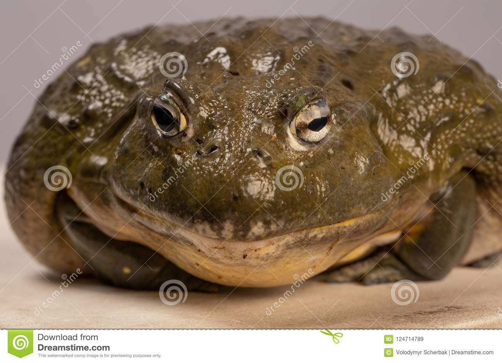 The portrait of African bullfrog. Macro. Toad