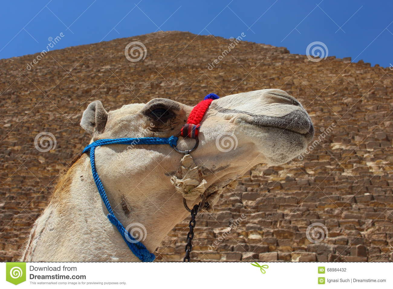 Portrait of an african camel with the pyramids of Giza on soft background