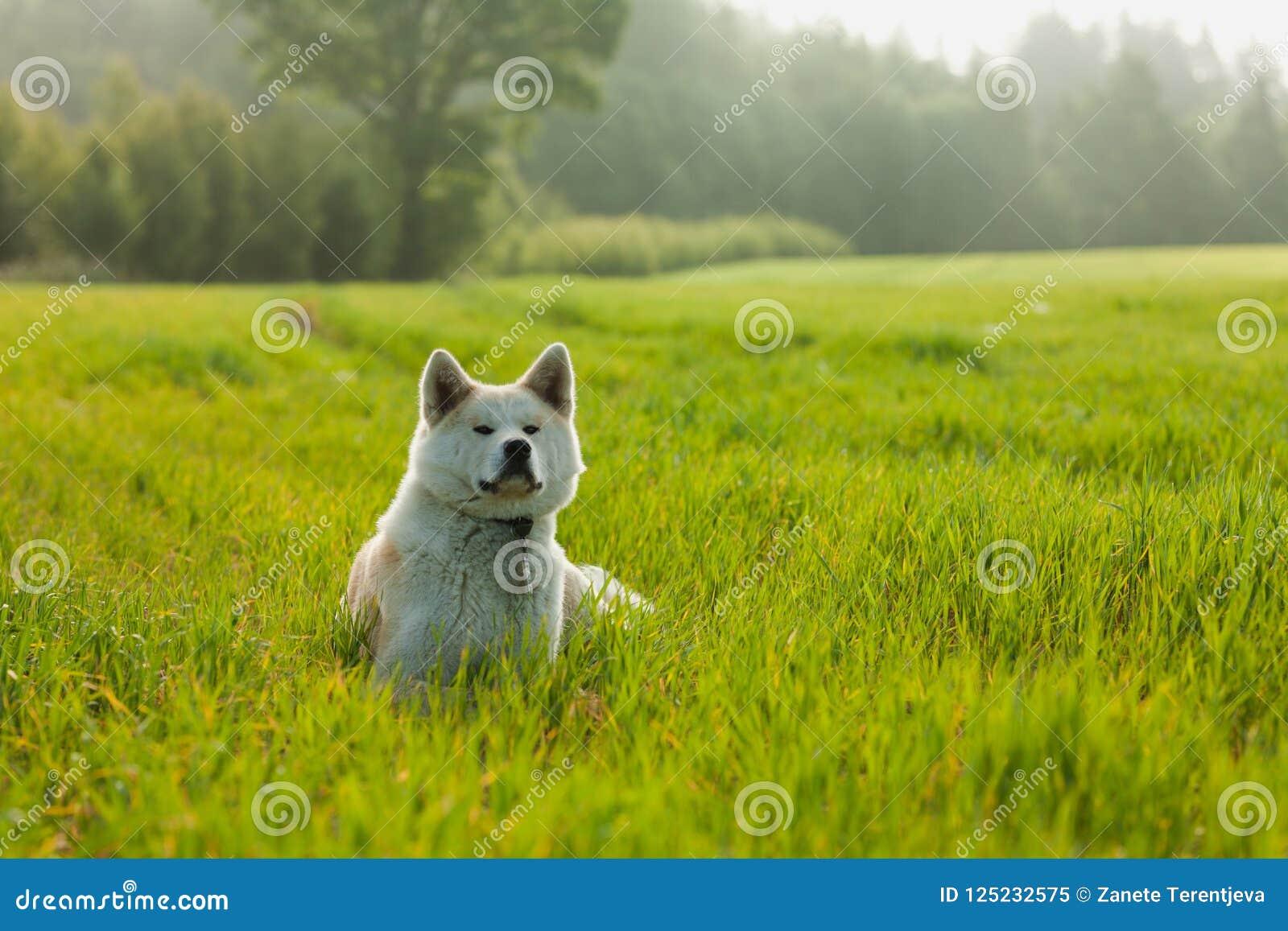 Portrait of Akita Inu in a green wheat field in summer