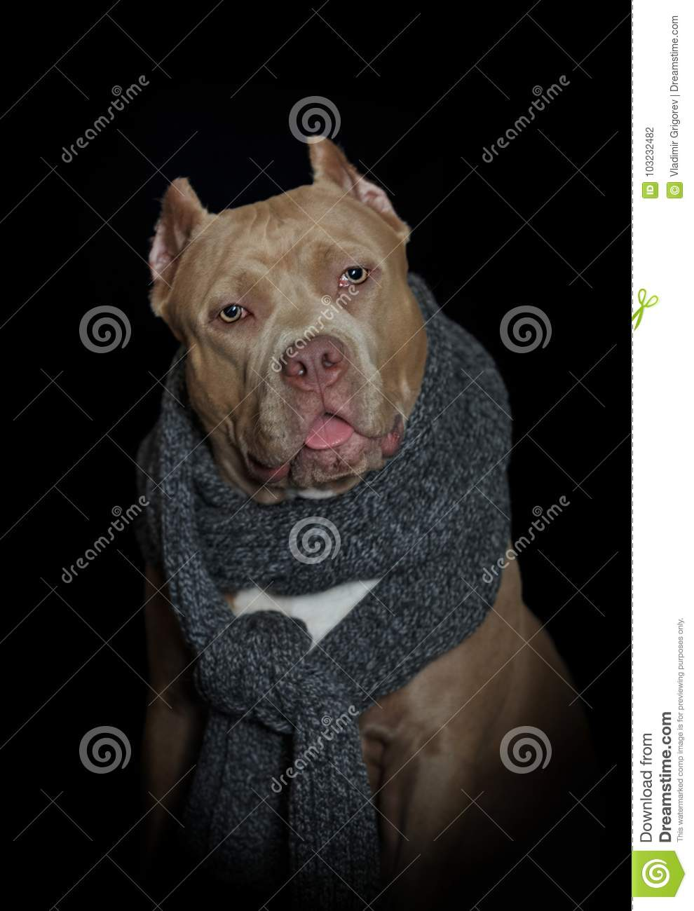 Portrait Of American Bully With Scarf On The Neck Stock