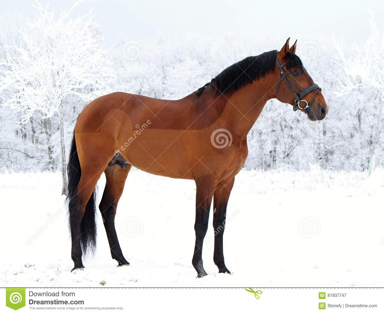 Portrait Of An American Quarter Horse Against A High Contrast Background Stock Image Image Of Horse Royal 81937747