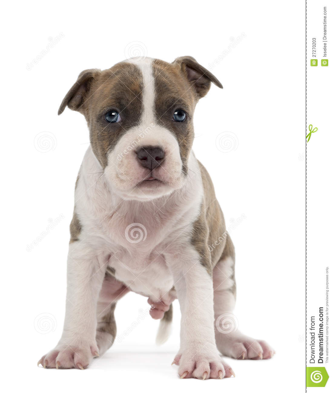 Z Force American Staffordshire Terrier Portrait Of American S...