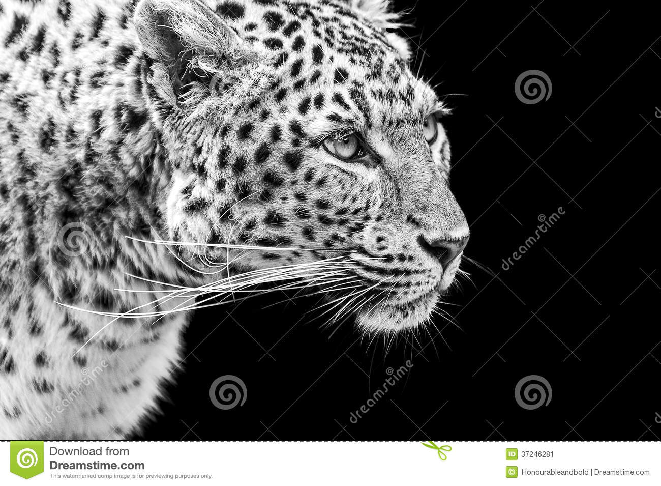 Portrait of Amur Leopard in black and white