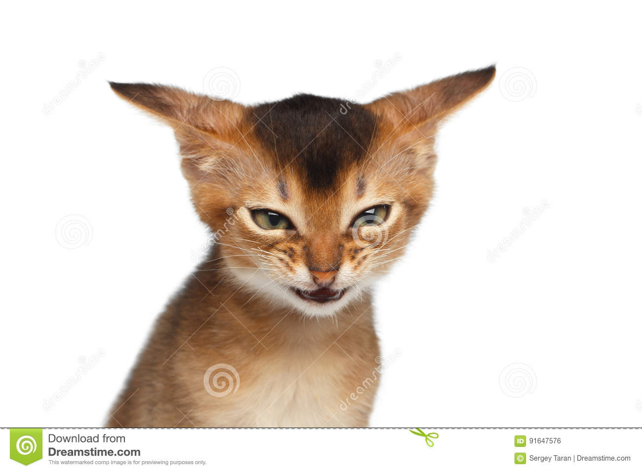 Portrait of Angry Kitten on Isolated White Background
