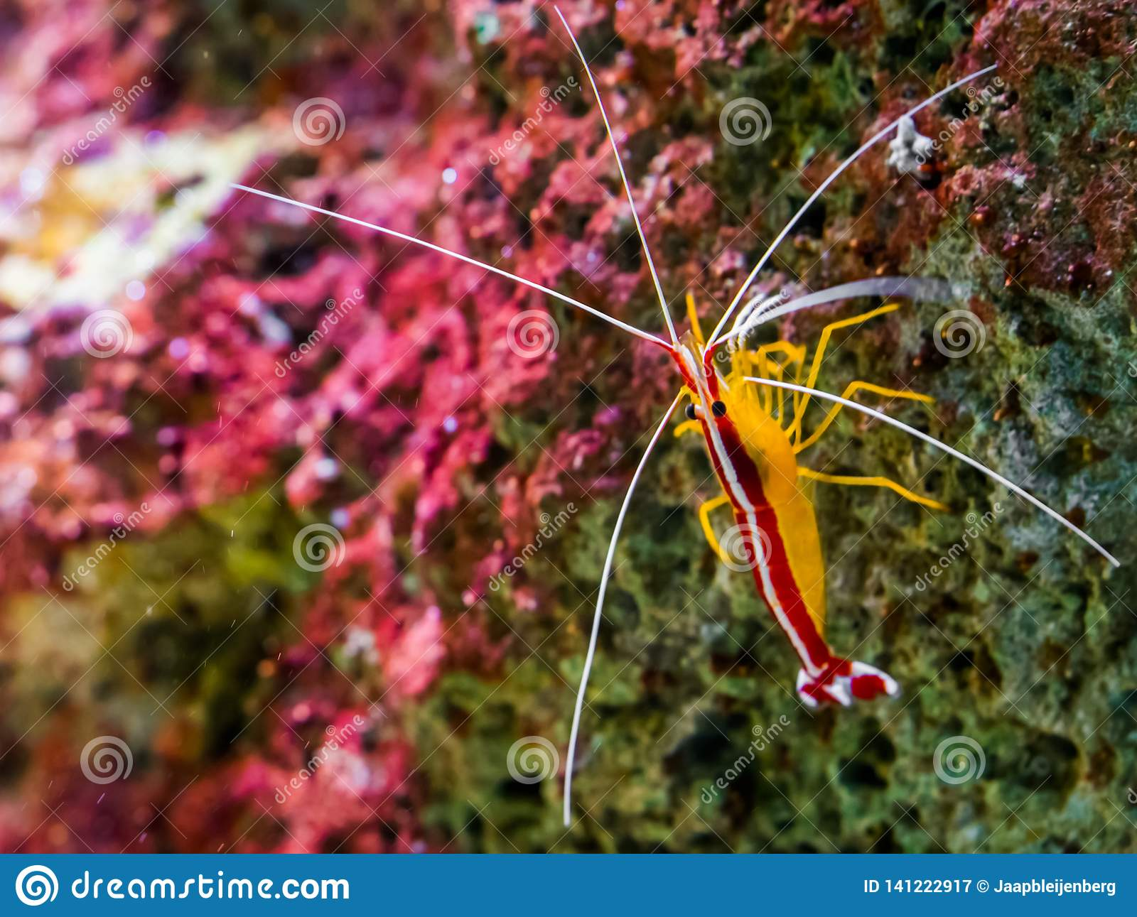 Portrait of a atlantic cleaner shrimp sitting on a rock, colorful prawn from the atlantic ocean