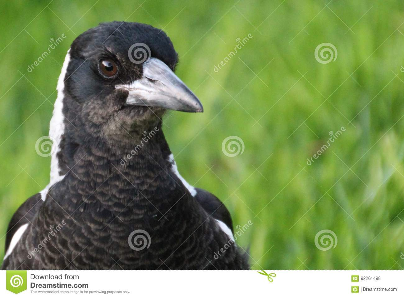 Portrait of an Australian magpie in South Australia