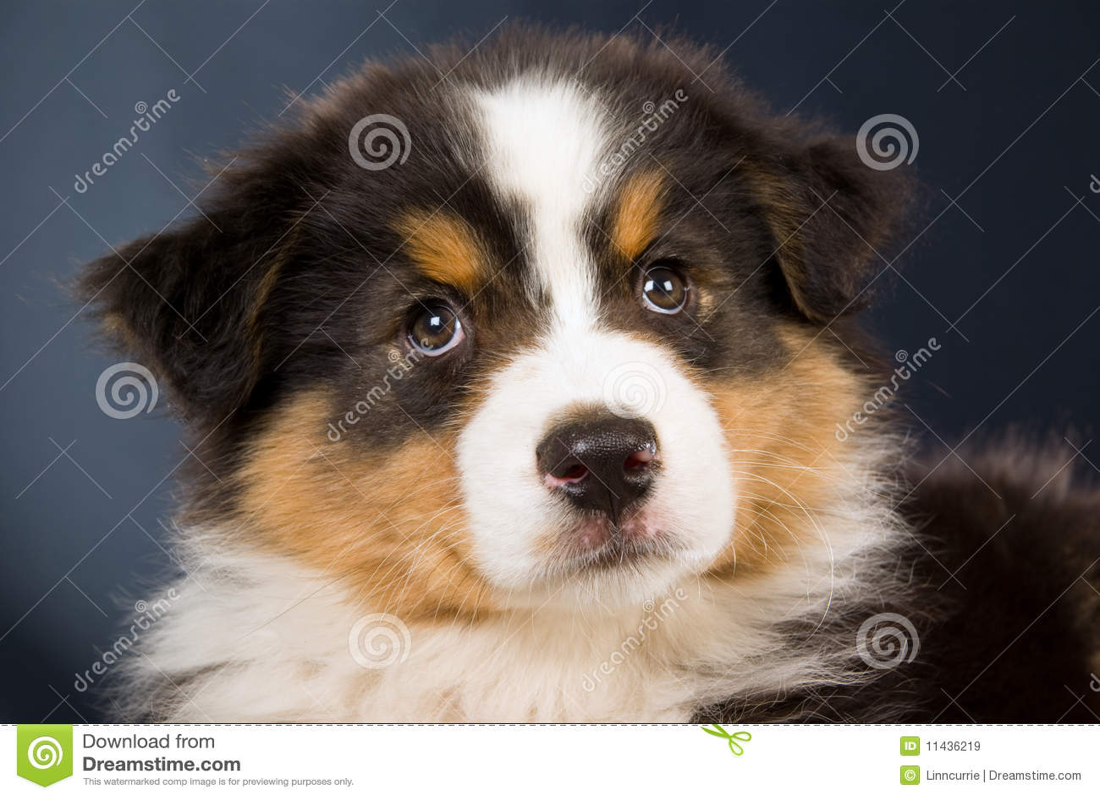 Portrait Of Australian Shepherd Puppy Royalty Free Stock Images ...