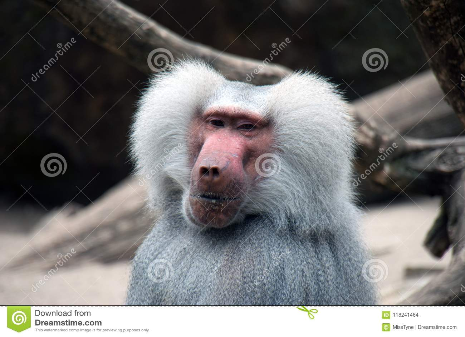 Portrait of a baboon monkey