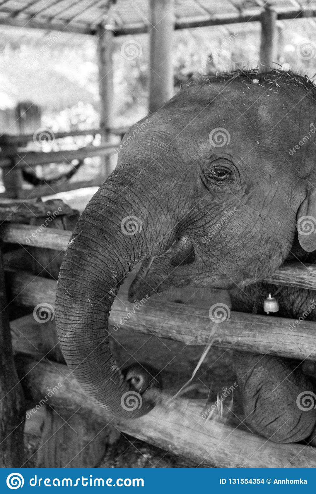 Portrait Of Baby Elephant In Black And White