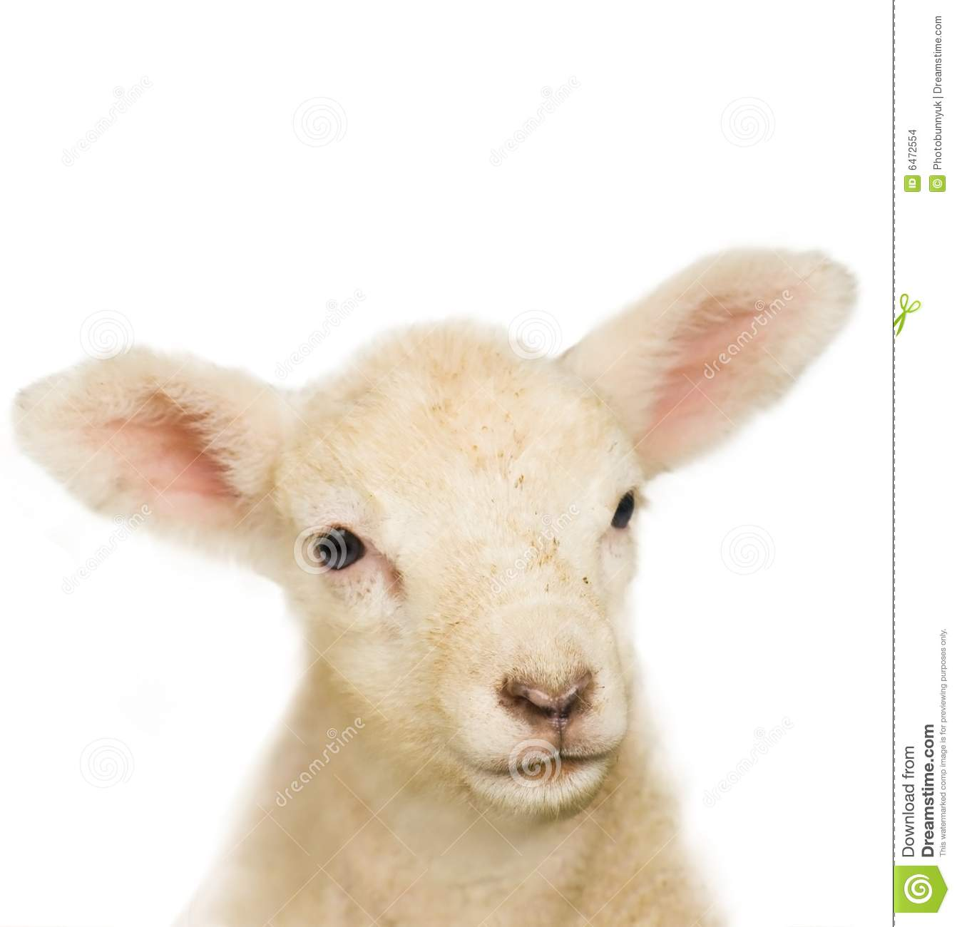 Portrait of a baby lamb stock photo. Image of cute, vulnerable ... for Happy Baby Lamb  165jwn