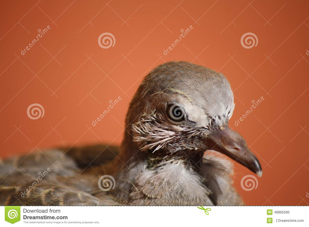 Portrait of a Baby Pigeon stock photo. Image of young ...