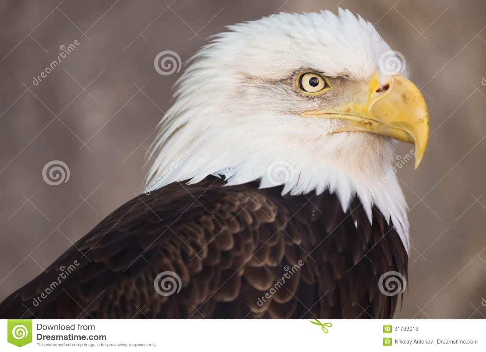 Portrait Of A Bald Eagle America National Symbol Latin Name