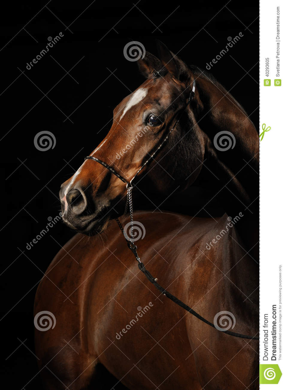 Portrait of a bay horse on the black background