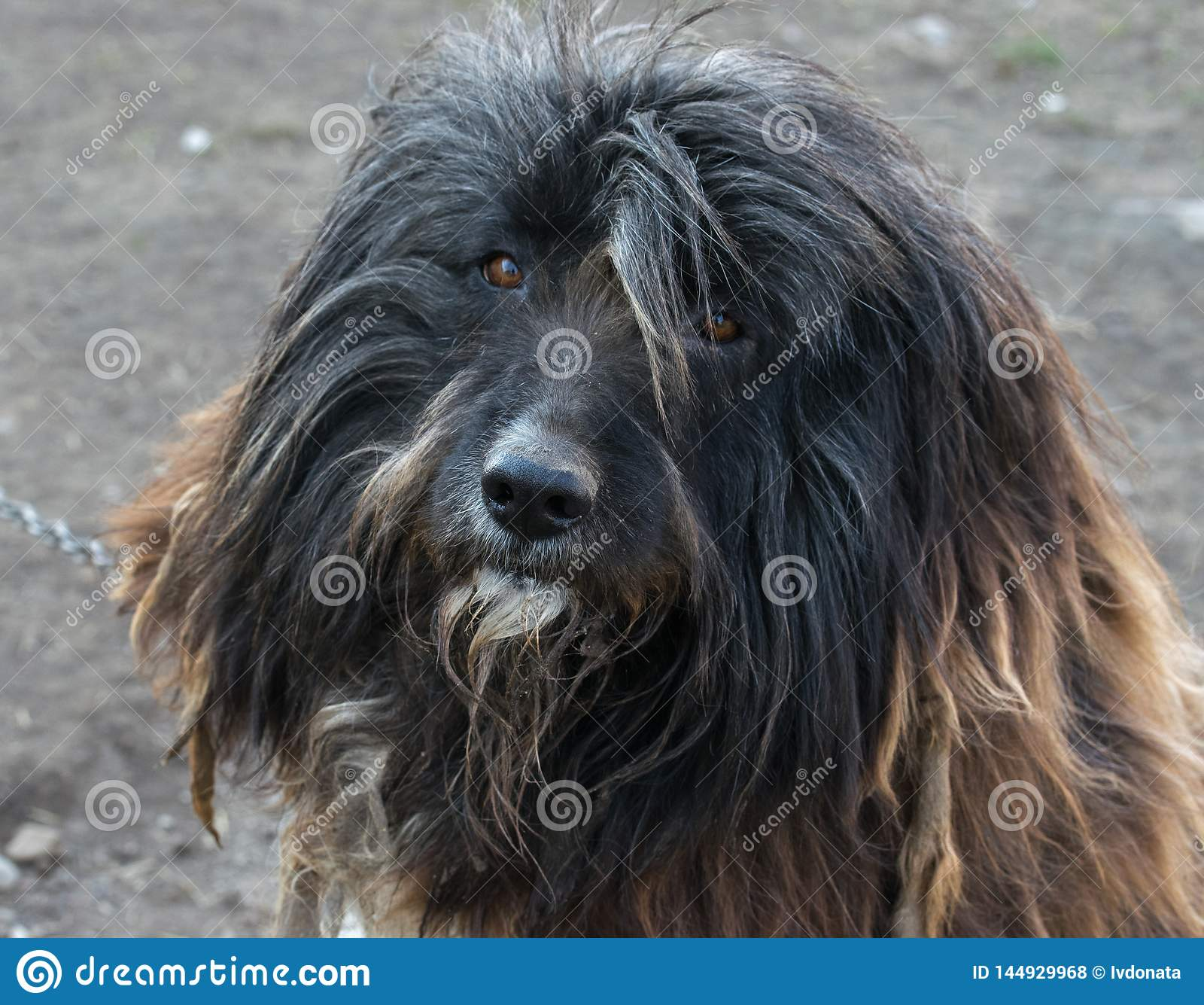 A portrait of a bearded collie dog looking into the camera