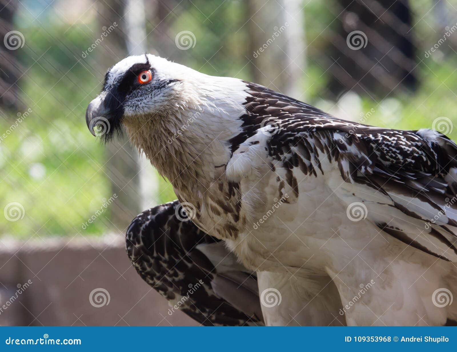 Portrait Of Bearded Vulture In Zoo Stock Photo Image Of Bird Bill
