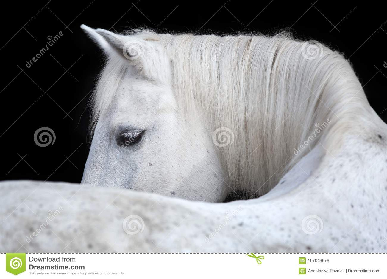 Portrait of an Arabian horse on black background