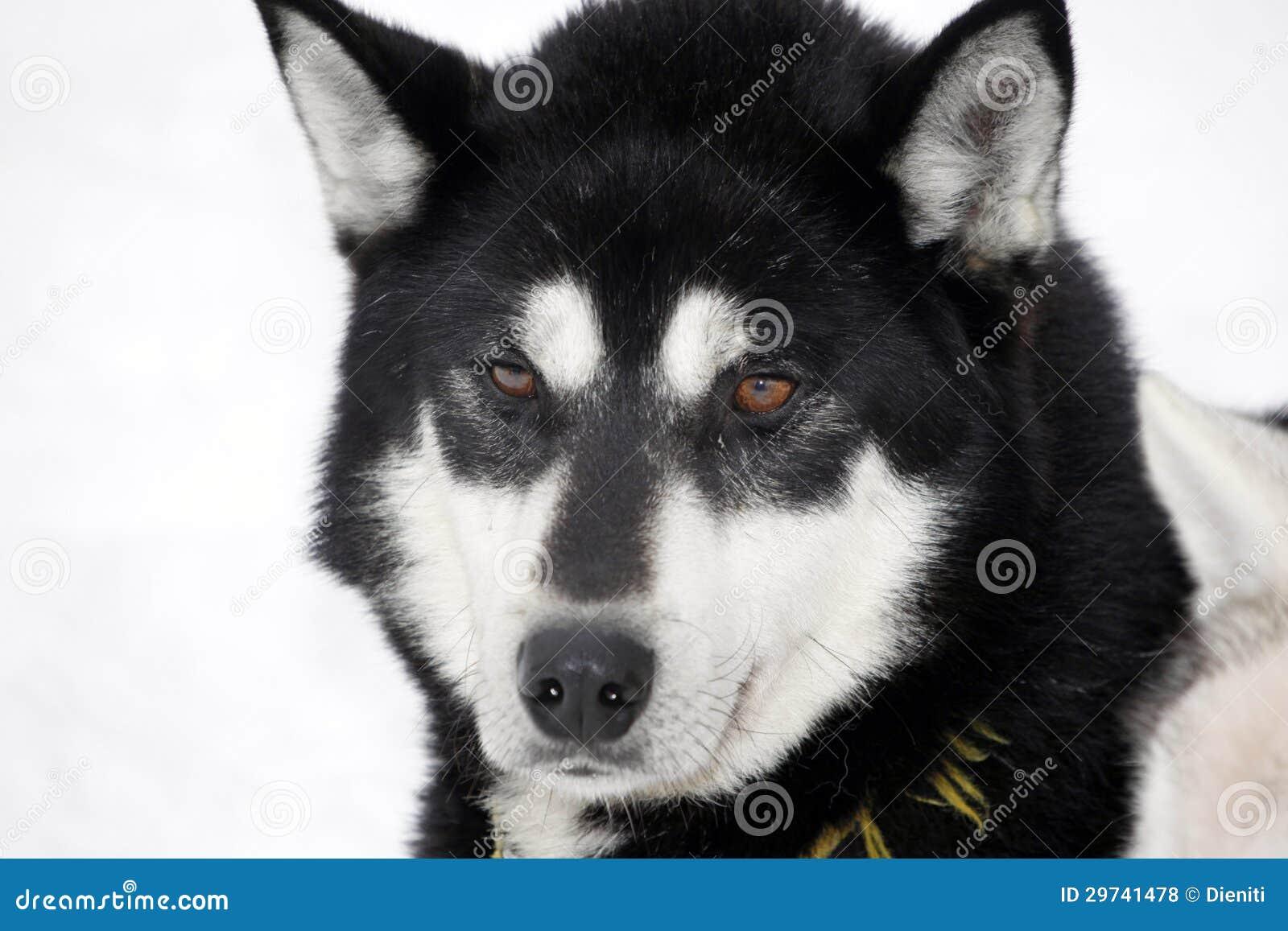 close up of a black siberian husky stock photo image