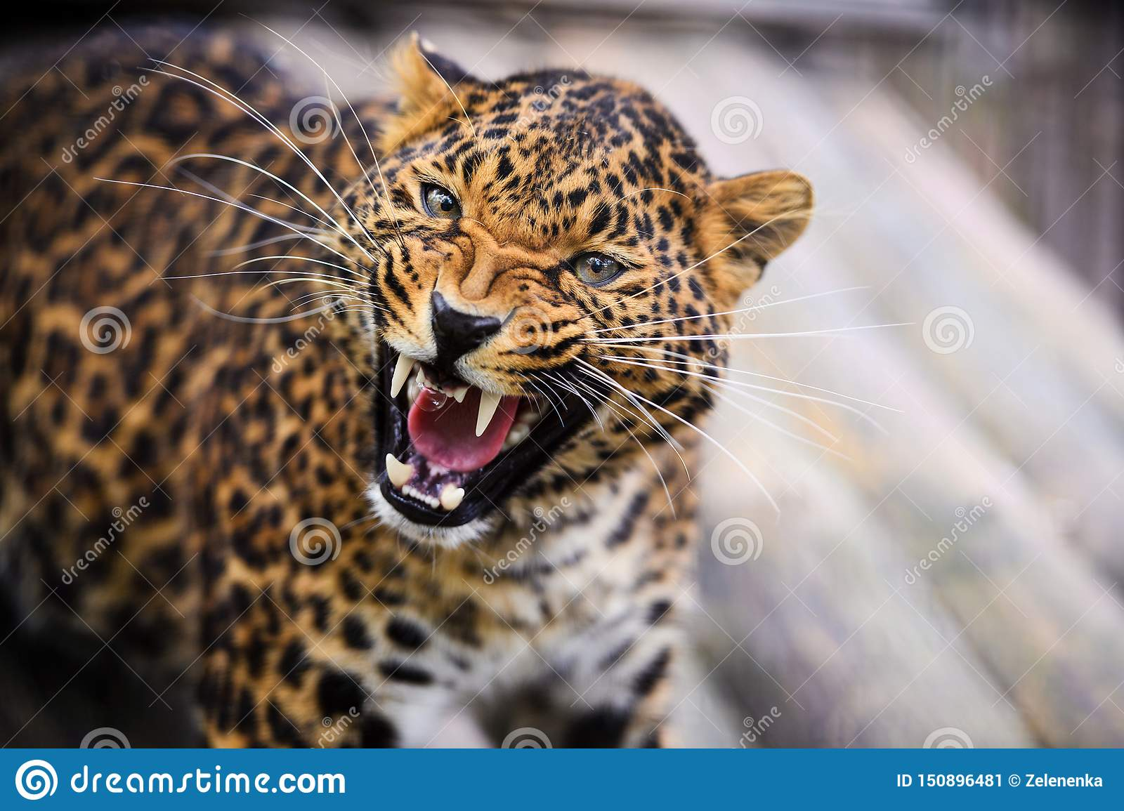 Portrait of a beautiful leopard roaring in front of the camera