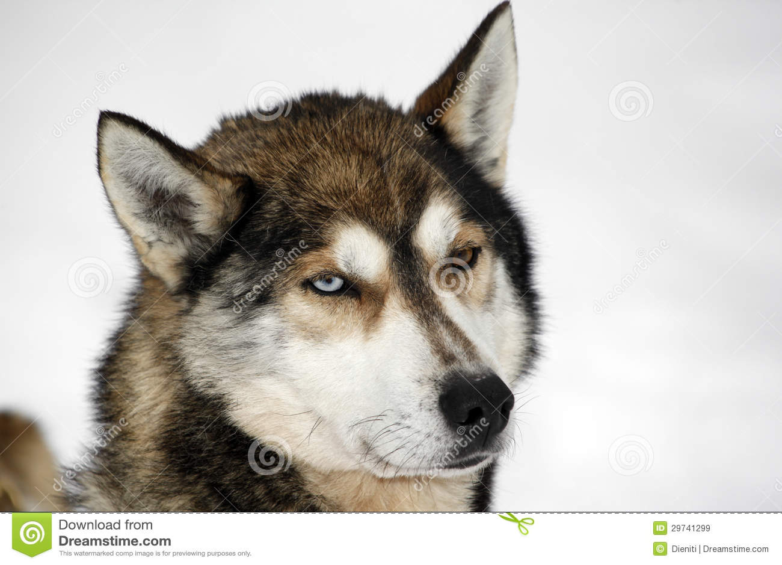 Heterochromia Of A Siberian Husky