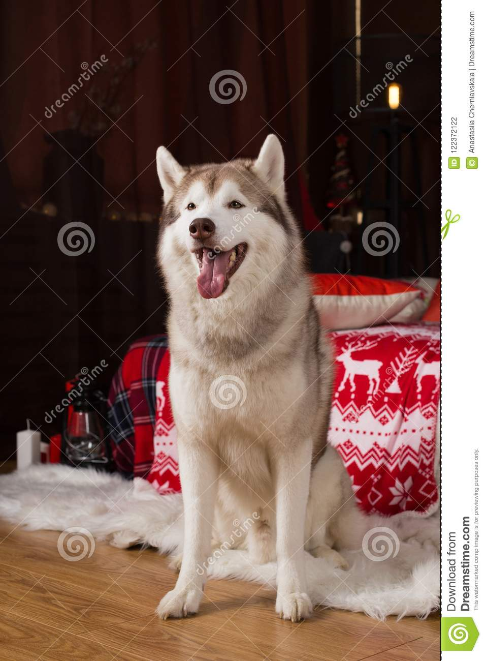 portrait of beautiful siberian husky dog sitting in the christmas decorations