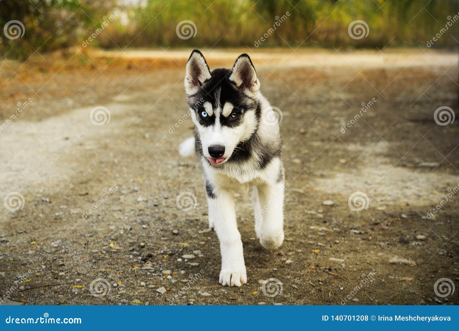 Siberian Husky Dog Running In Summer Stock Photography