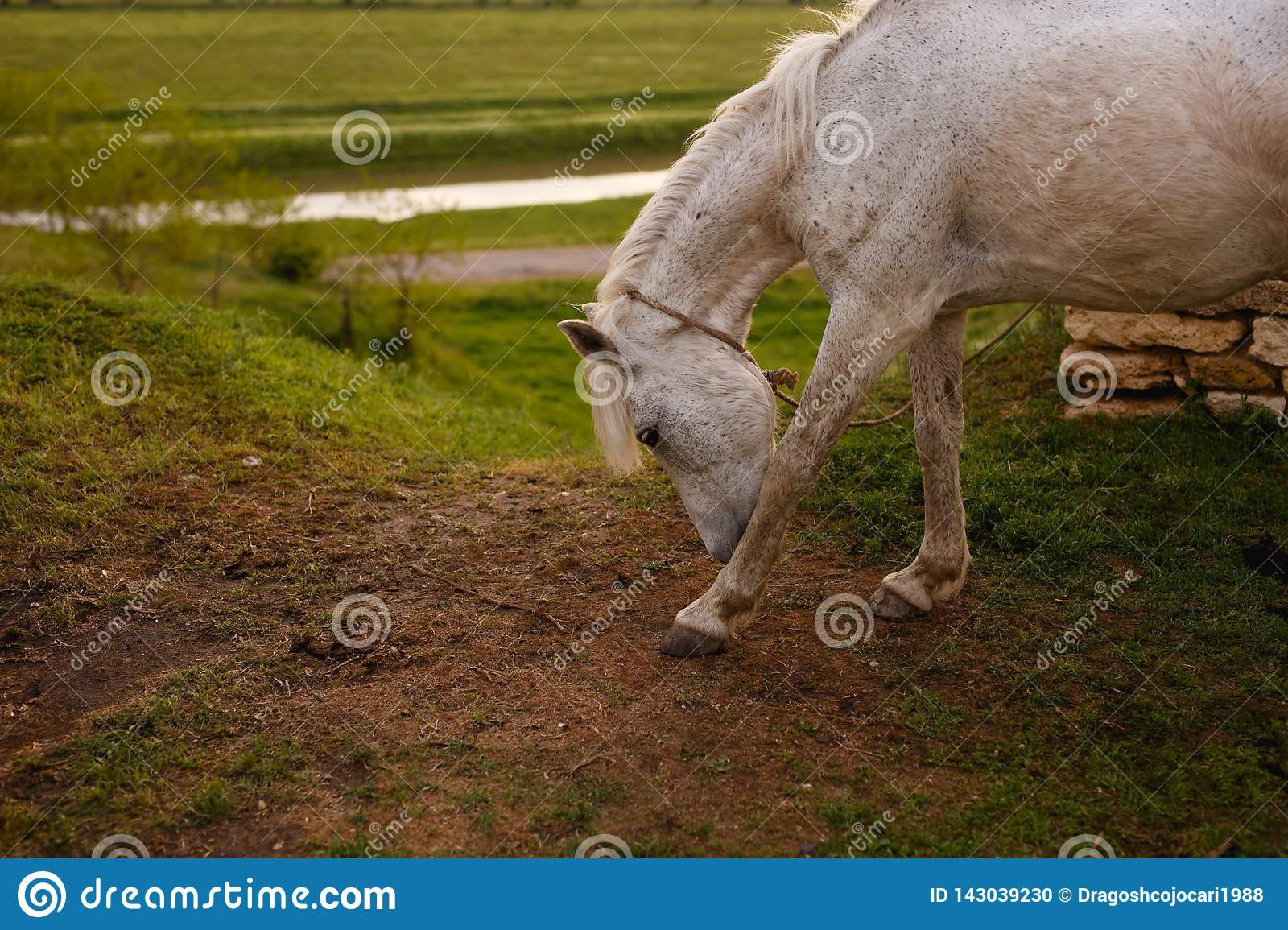 Portrait of a beautiful white horse, outside,  on a green landscape background.