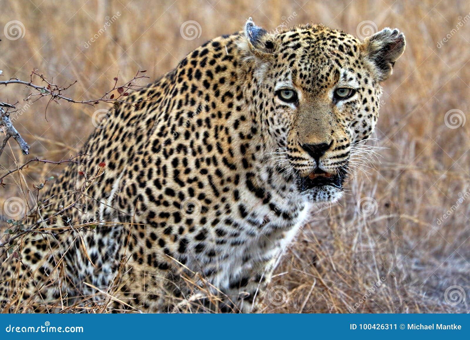 Portrait Of A Leopard Panthera Pardus Kruger National Park South