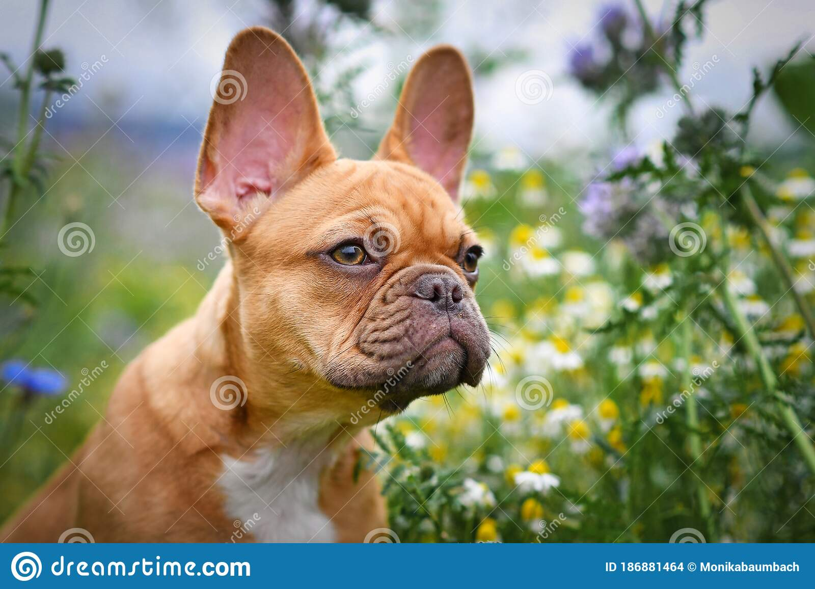 Portrait Of Beautiful Red Fawn French Bulldog Puppy With 16 Weeks Between Flower Meadow Durings Stock Photo Image Of Outdoor Breed 186881464