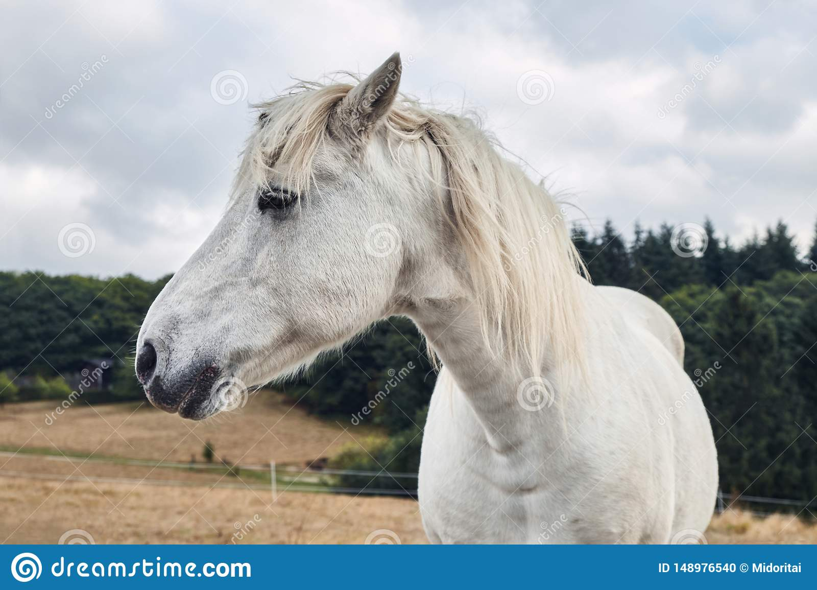 Portrait Of A Beautyful White Horse Close Up Stock Photo Image Of Mane Green 148976540