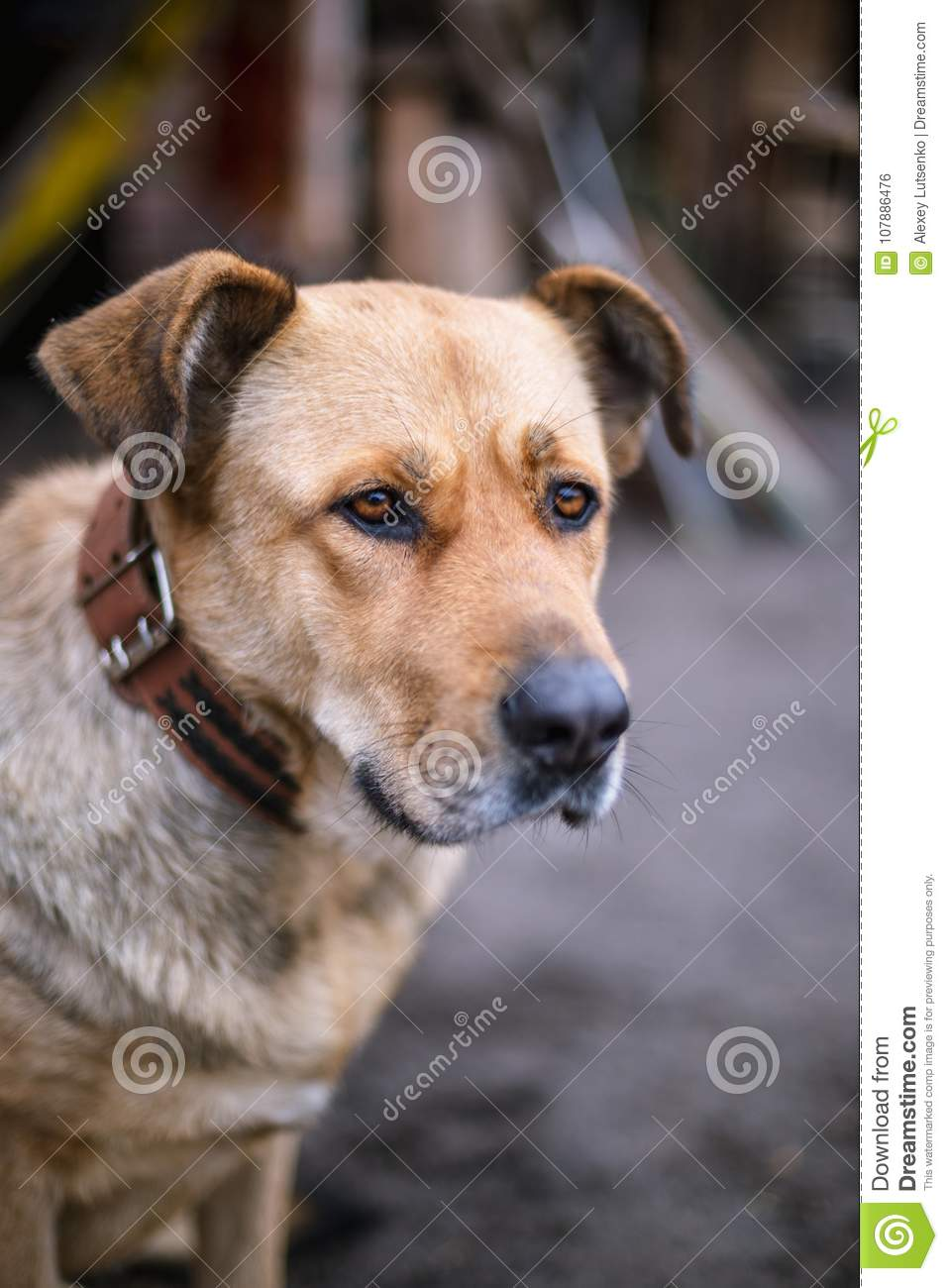 Portrait Of A Big Beautiful Dog With A Collar On A Leash Stock