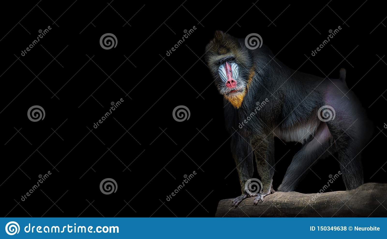 Portrait of big colorful and curious African mandrill, an alpha male at black background