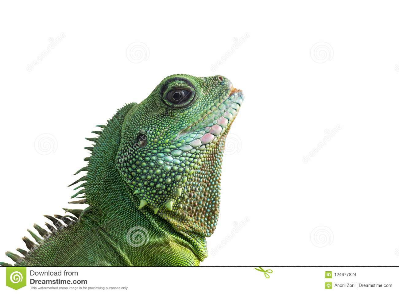 Portrait of big iguana isolated on white background. Close-up of the bearded dragon head on a white background