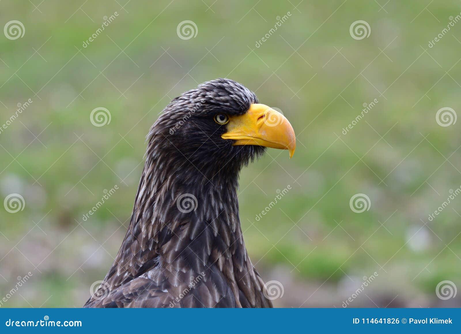 Portrait bird of prey eagle with yelow beak