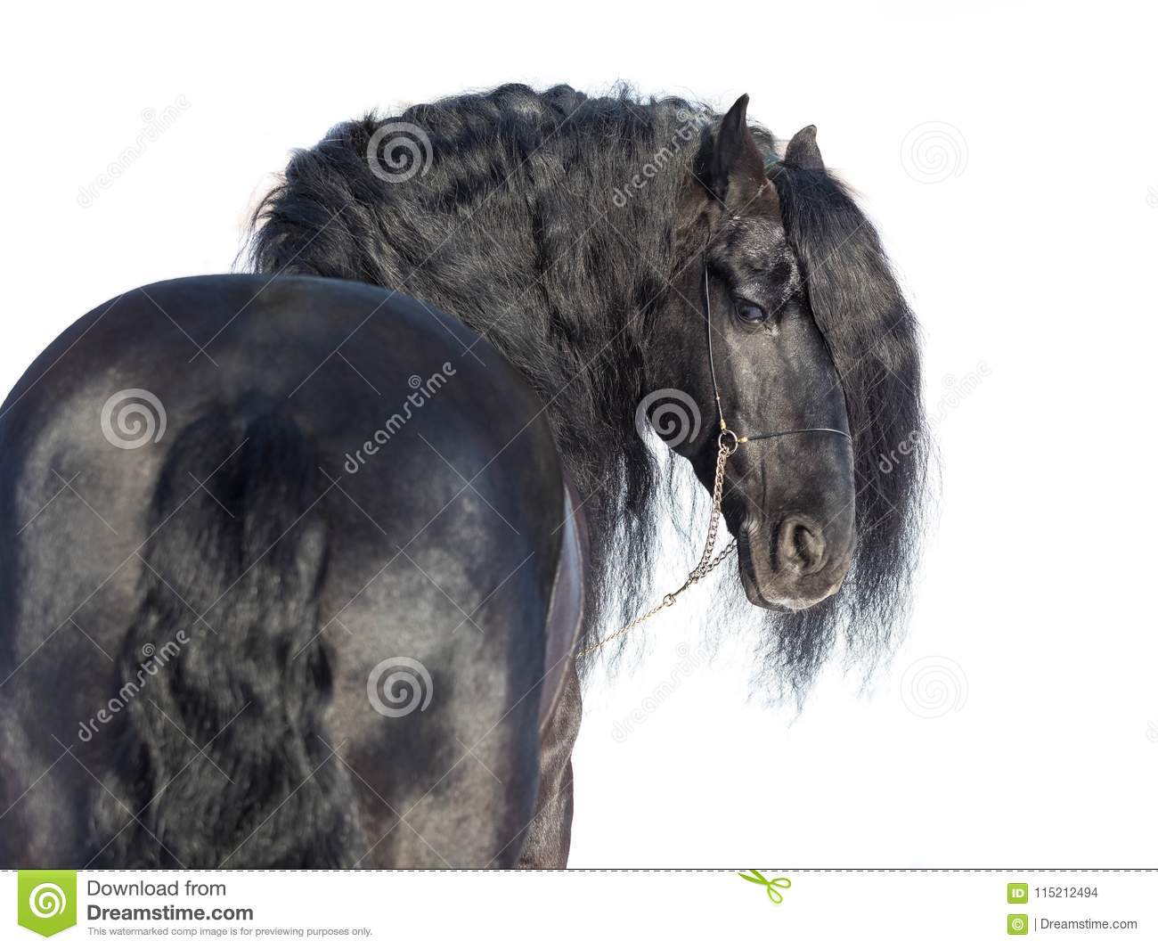 Portrait of a black friesian horse