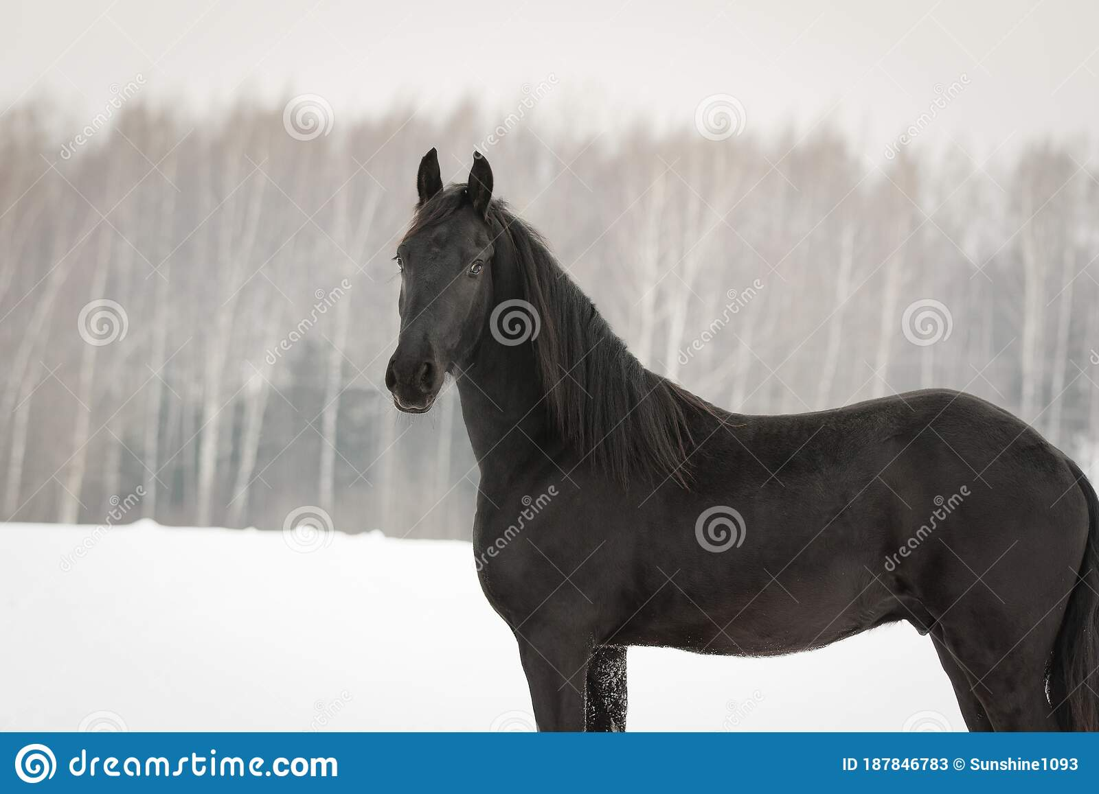 Portrait Of A Black Friesian Horse On White Snow Stock Image Image Of Equestrian Stable 187846783