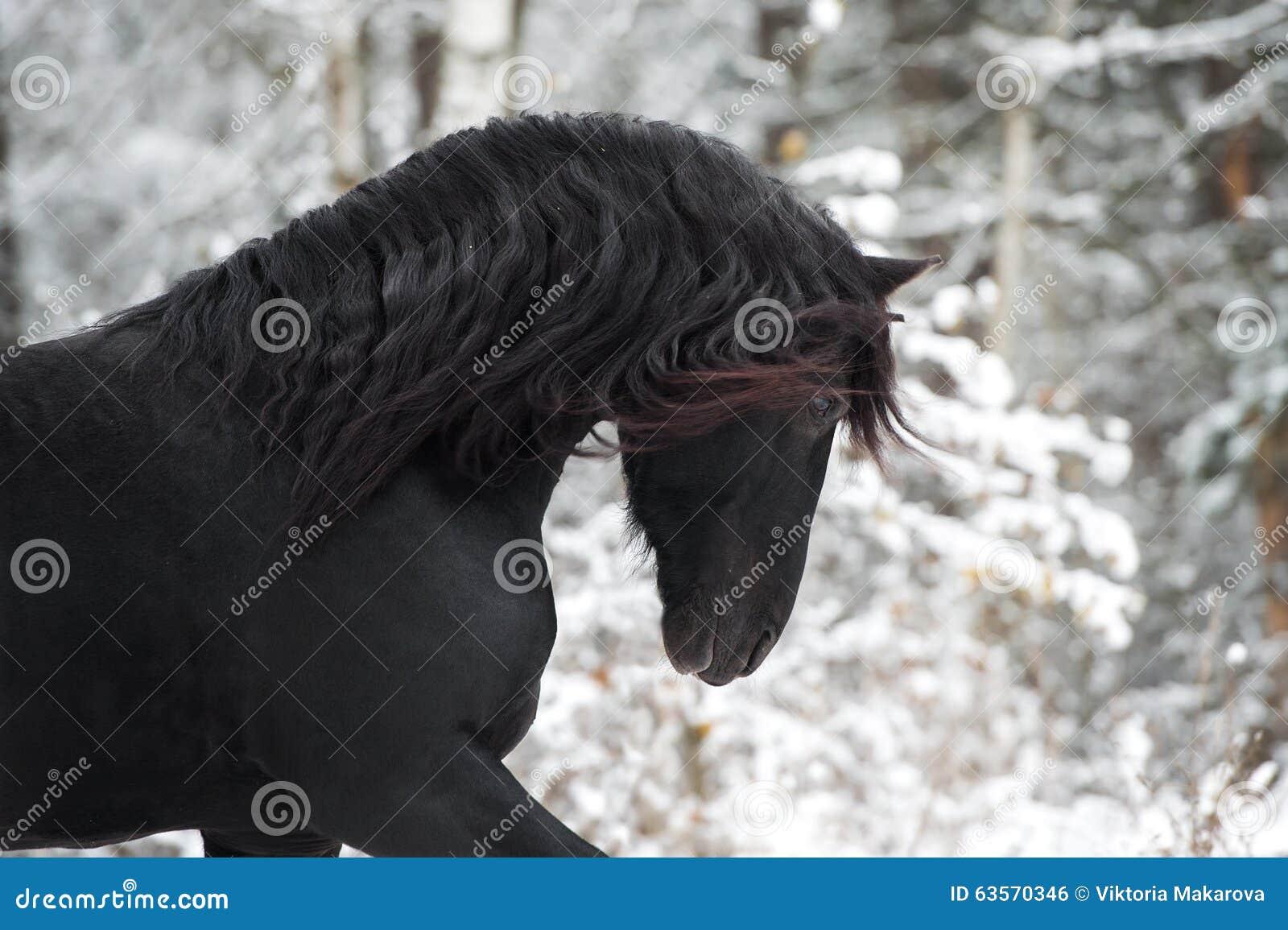Portrait of black Friesian horse on winter background