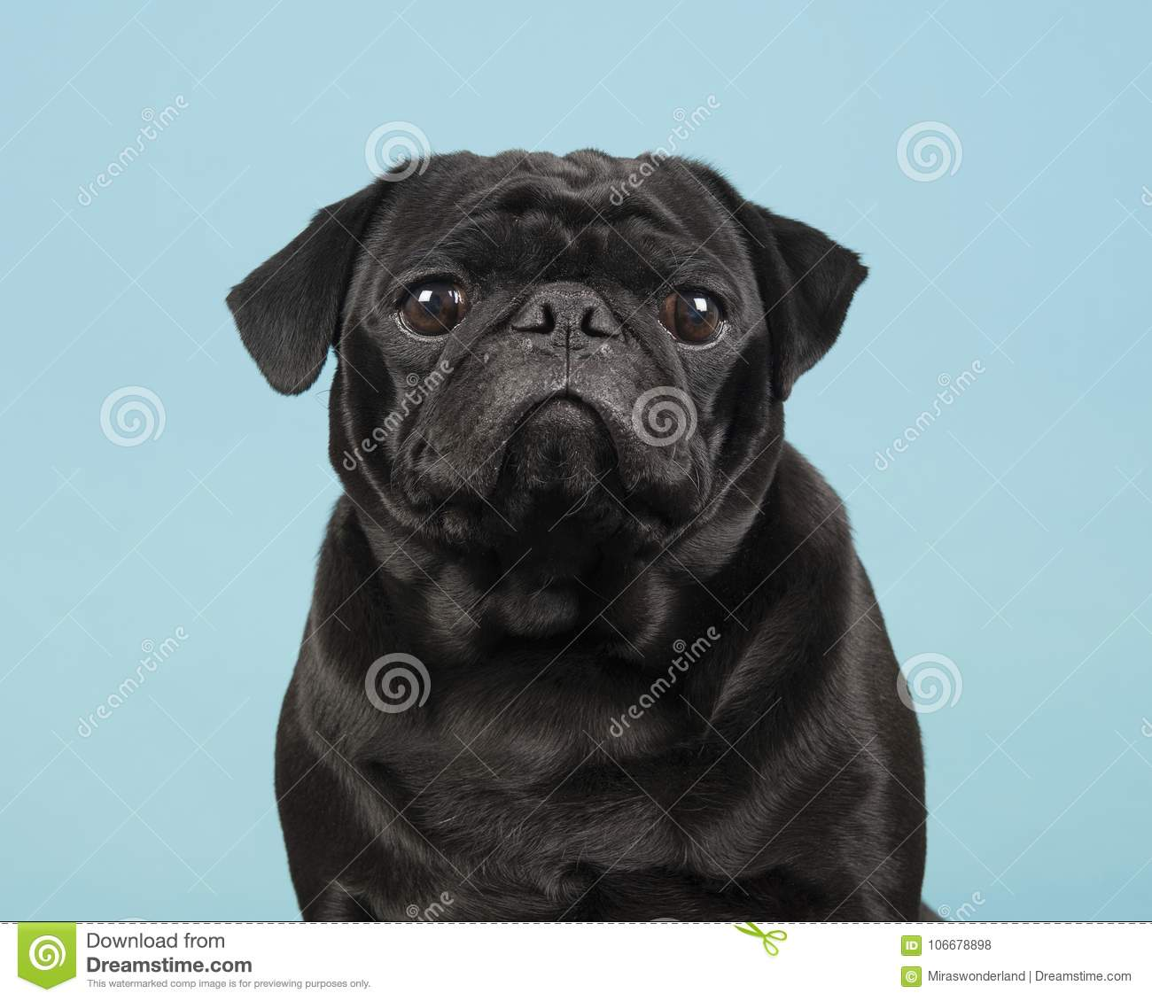 Portrait of a black pug looking at the camera on a blue background