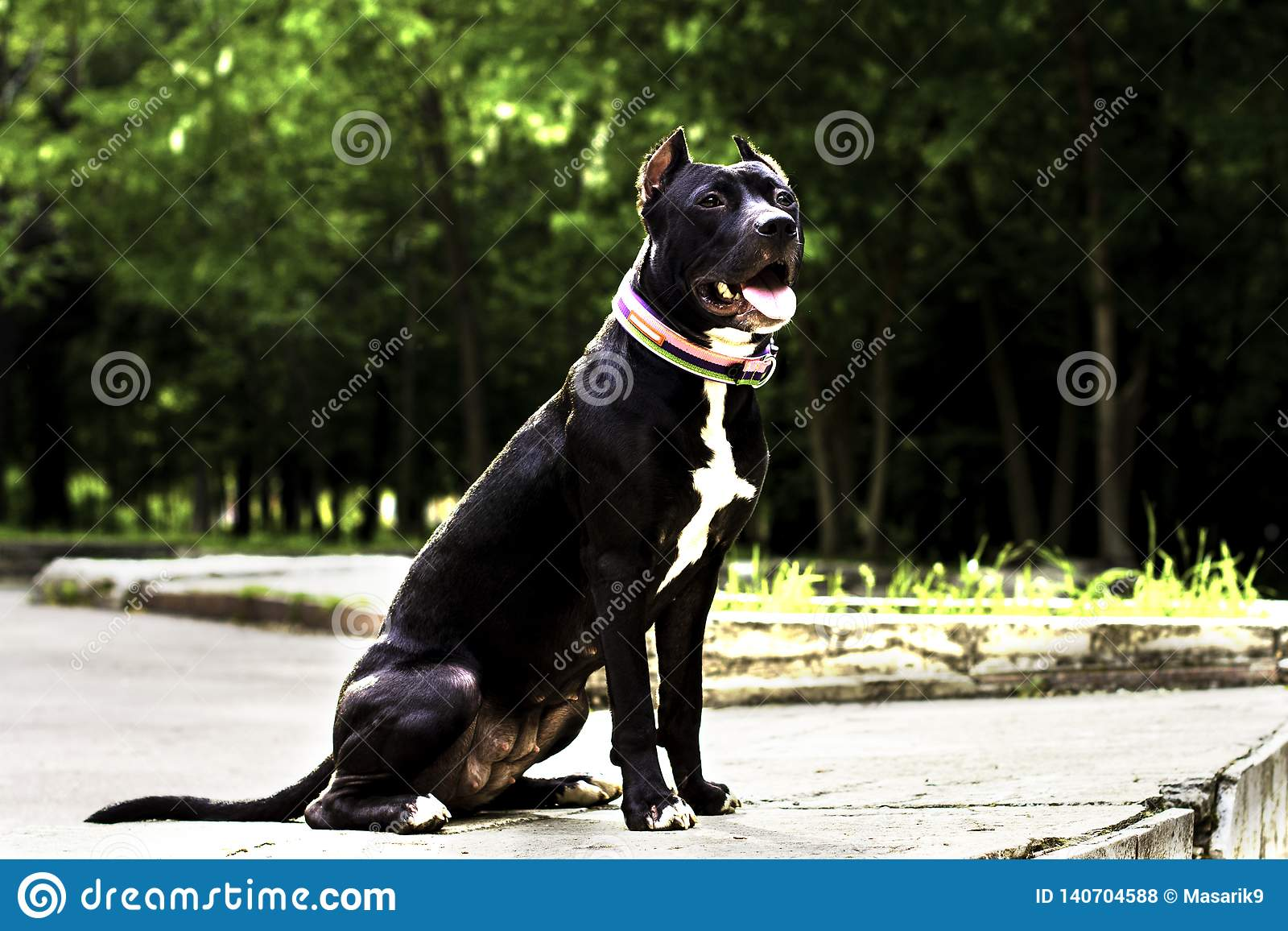 Portrait Black and white American pit bull terrier in a collar full height and smiles with tongue in the park