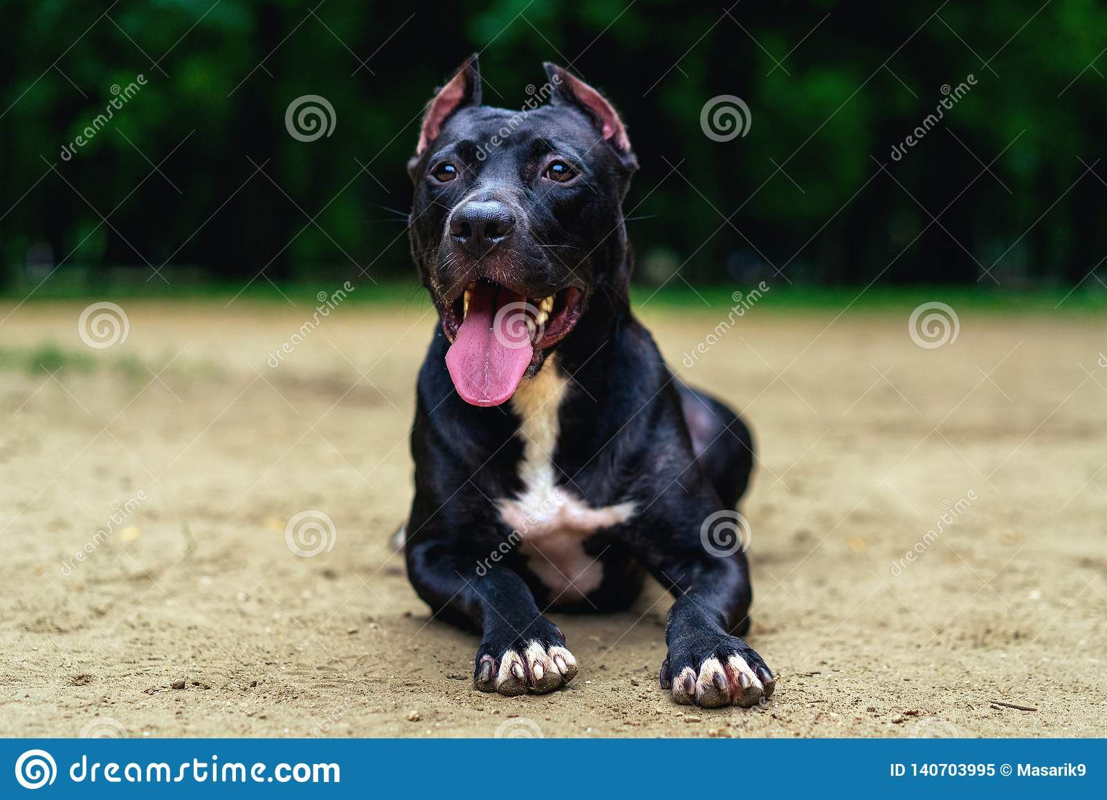 Portrait Black and white American pit bull terrier lies ismiles with tongue in the park