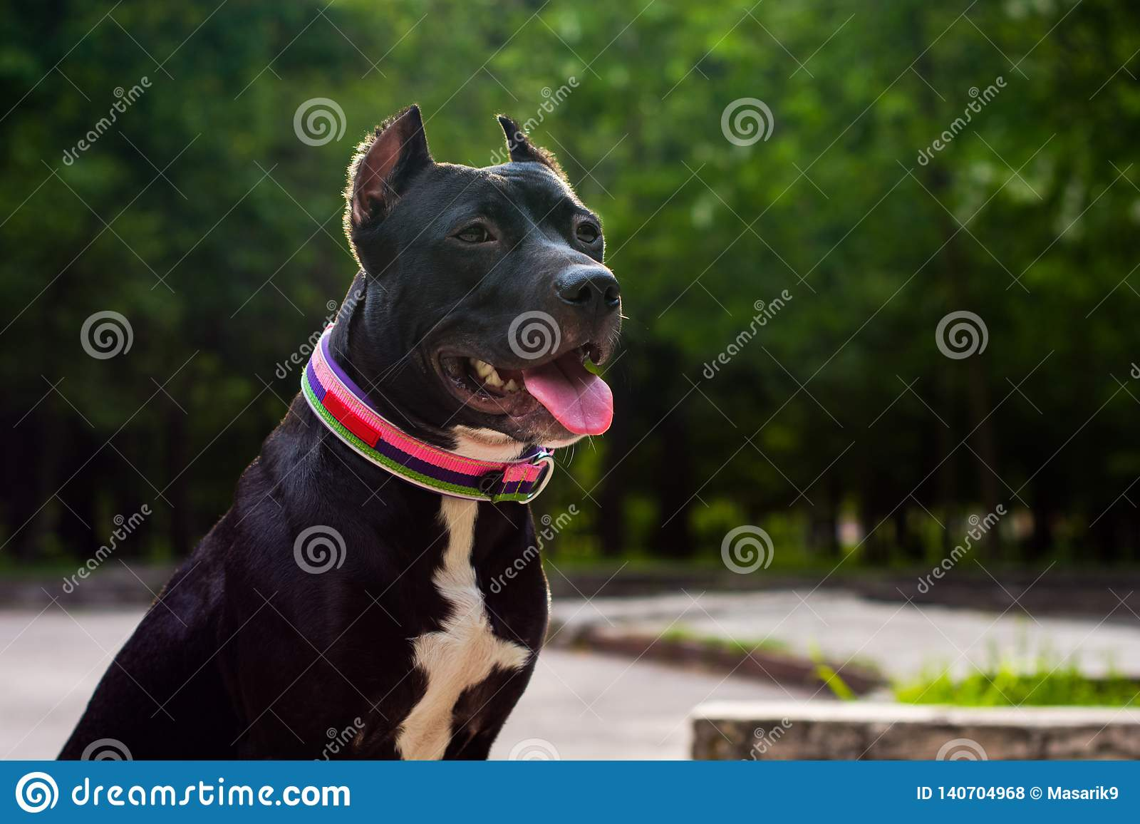 Portrait Black and white American pit bull terrier sits and smiles with tongue in the park