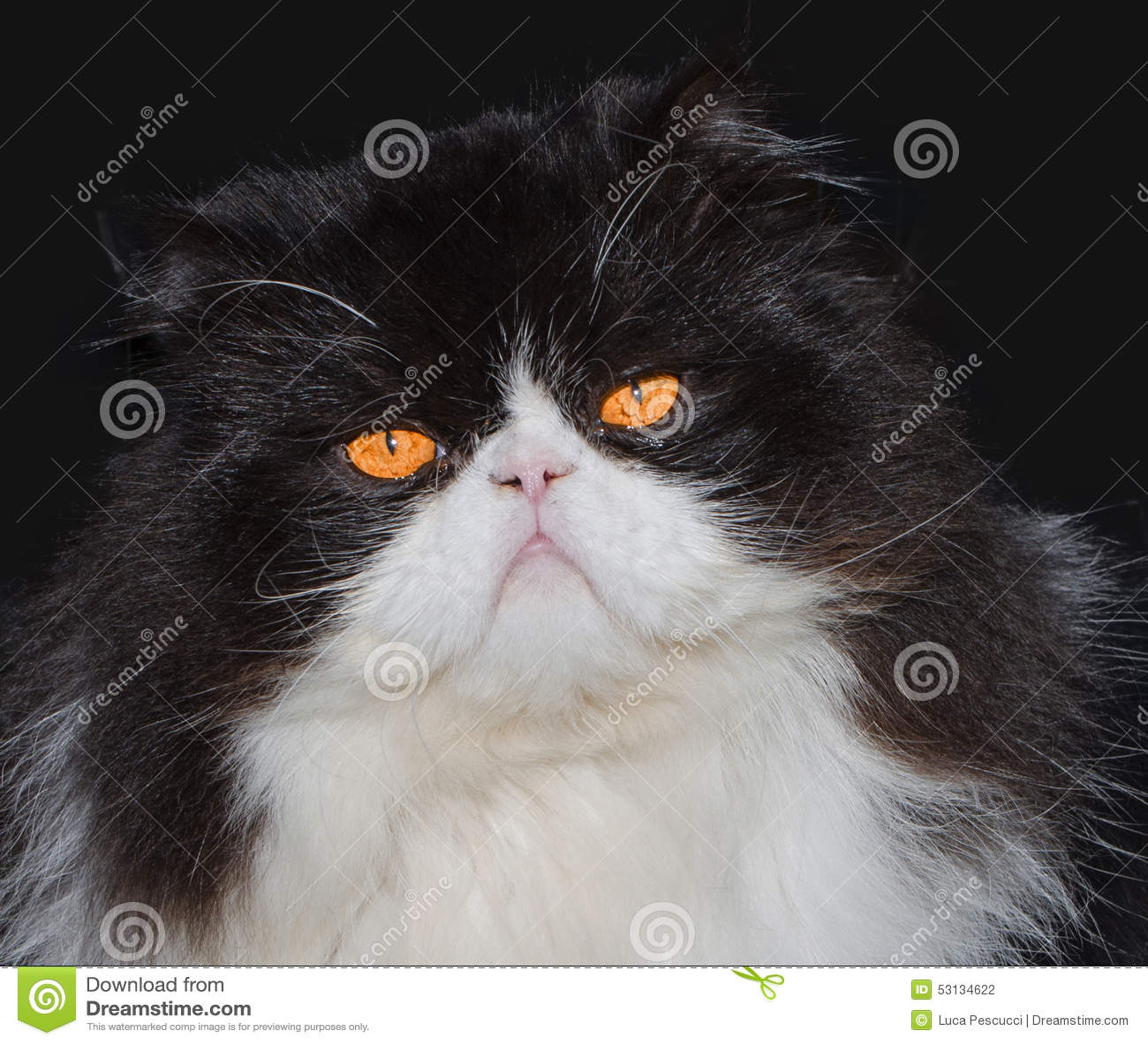 Portrait Black And White Persian Cat Stock Image