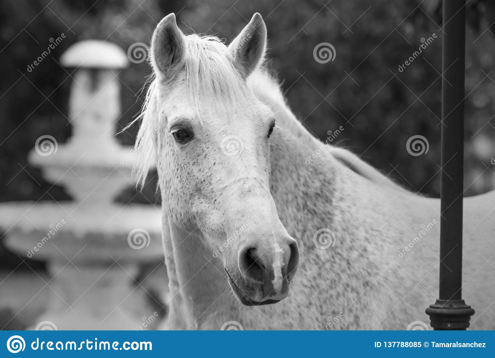 Portrait In Black And White Of A White Horse In A Garden With A Fountain As A Background Stock Image Image Of Autumn Cute 137788085