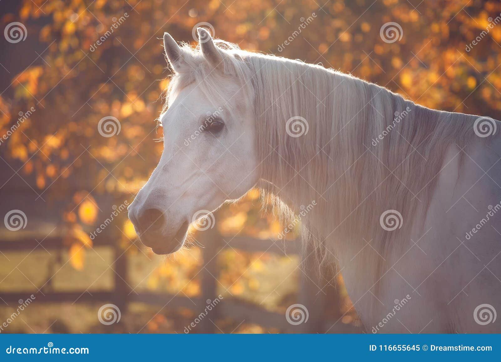 Portrait blanc de cheval d étalon dans l ambiance d or rougeoyante d automne