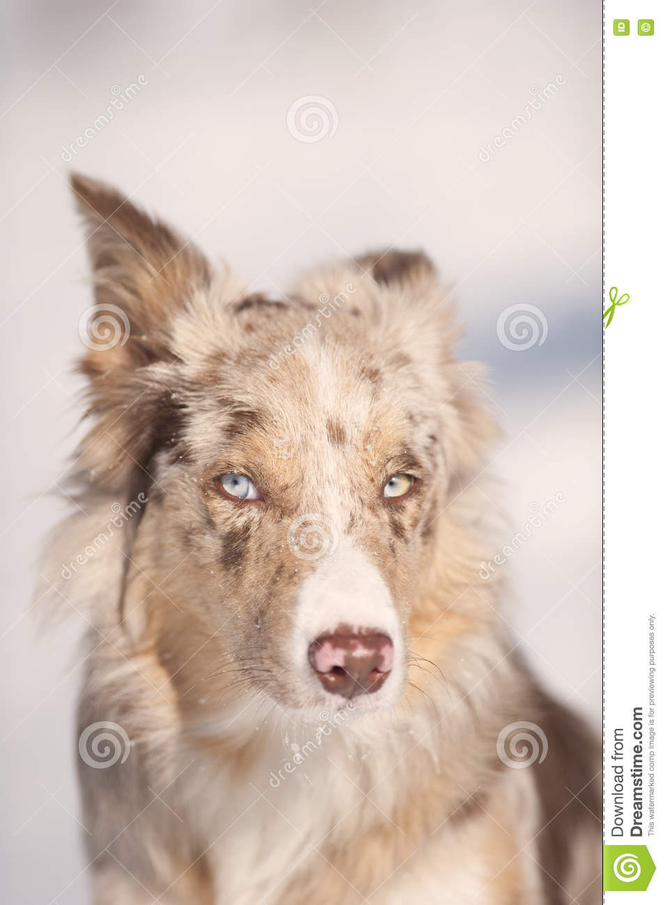 portrait of blue eyes red merle border collie stock image