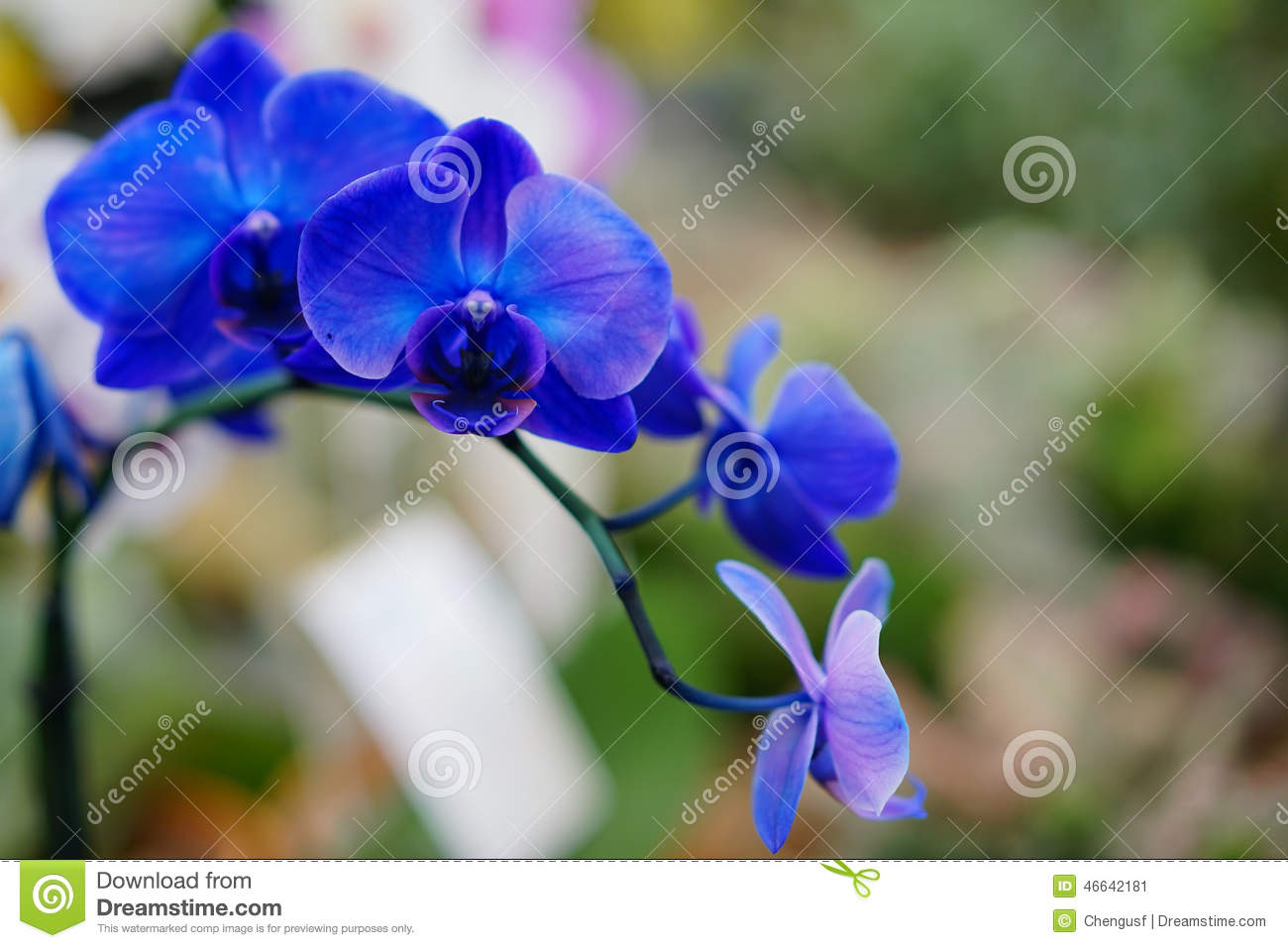 The Portrait Of Blue Orchid Flower In Bloom Stock Image Image Of
