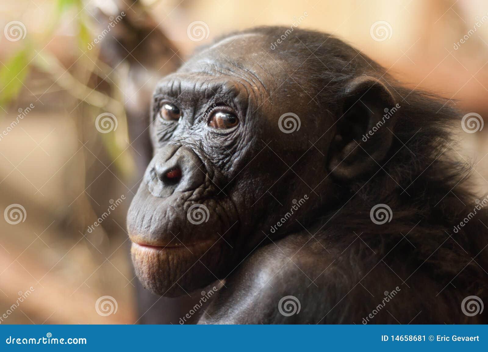Portrait Of A Bonobo Monkey Stock Image Image 14658681