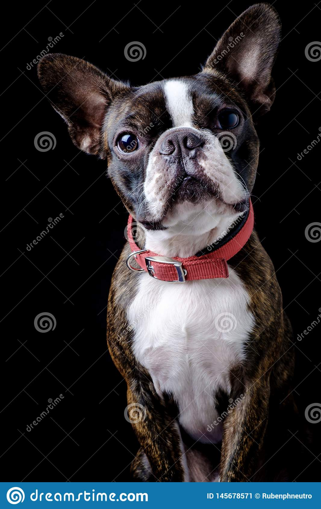 Portrait boston terrier pure breed black background closeup looking at camera
