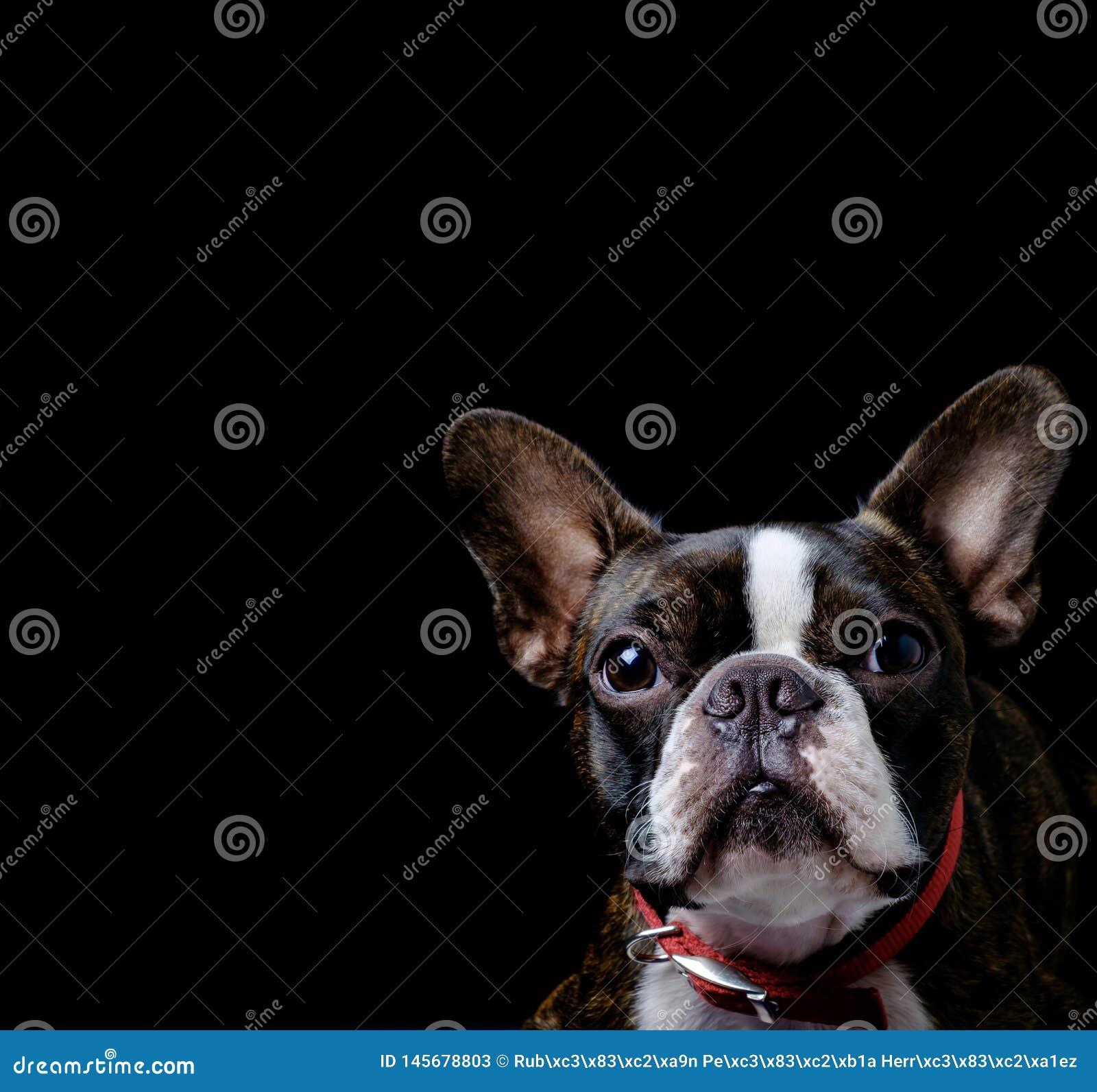 Portrait boston terrier pure breed black background closeup