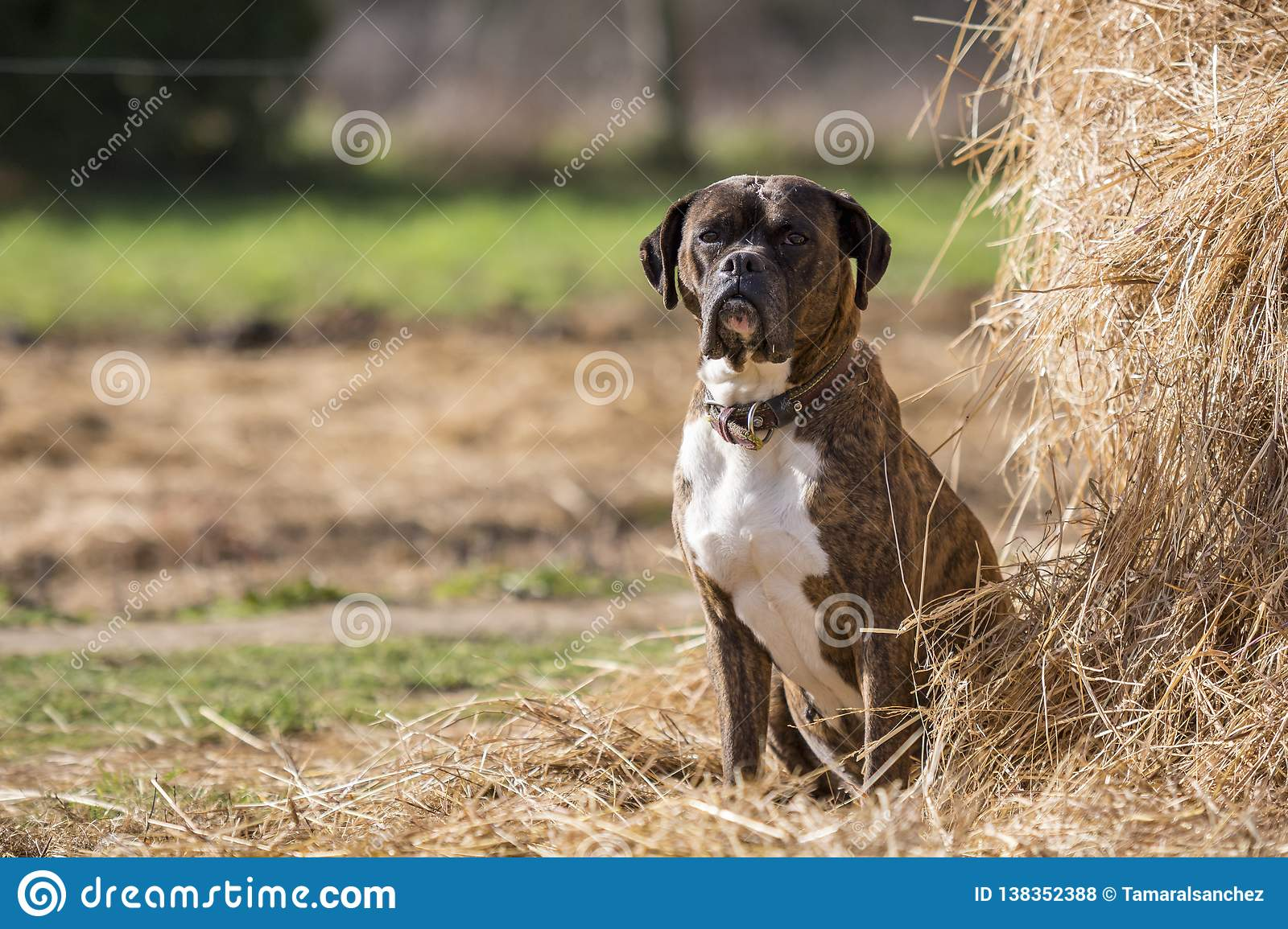 Photo of a Boxer dog in the field next to a heap of straw